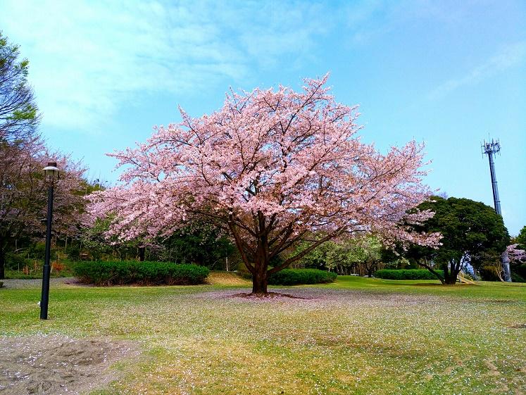 【撮影記】スマホカメラでも桜をバッチリ撮影!こんな感じで撮ろう!